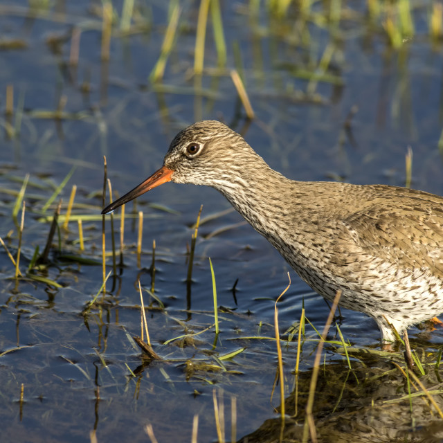 """Common Redshank Wading"" stock image"