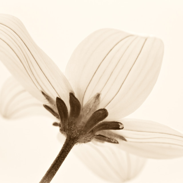 """""""Toned Cosmos Flower"""" stock image"""
