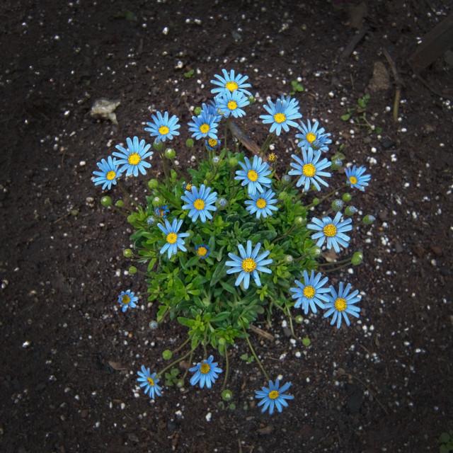 """Blue spring flowers asteraceae"" stock image"