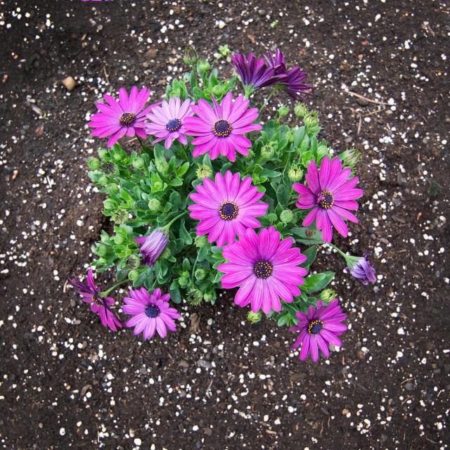 """Pink purple spring flowers"" stock image"