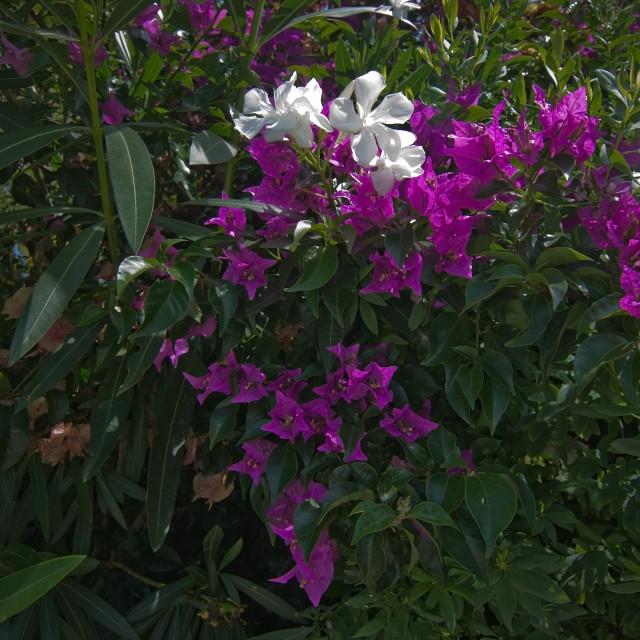 """""""Pink white bougainvillea flowers"""" stock image"""