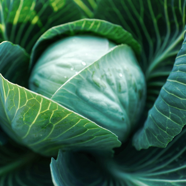 """green cabbage"" stock image"