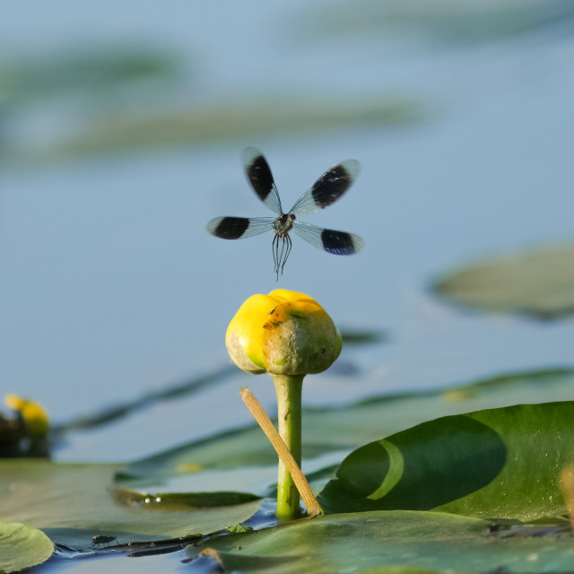 """Male Banded Demoiselle damselfly(Calopteryx splendens) taking of"" stock image"