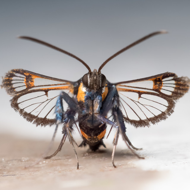 """""""Red-tipped Clearwing moth(Synanthedon formicaeformis). Front vie"""" stock image"""