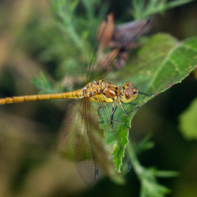 """Immature Male Common Darter dragonfly(Sympetrum striolatum) perc"" stock image"