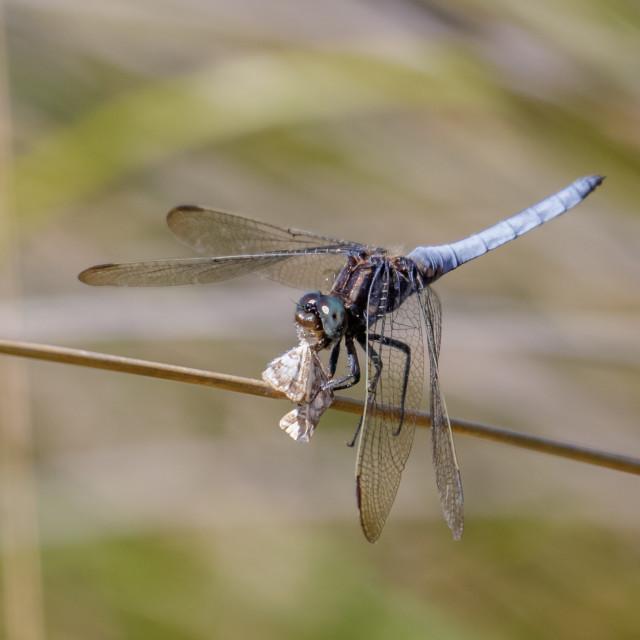 """Male Keeled Skimmer dragonfly(Orthetrum coerulescens) feeding on"" stock image"