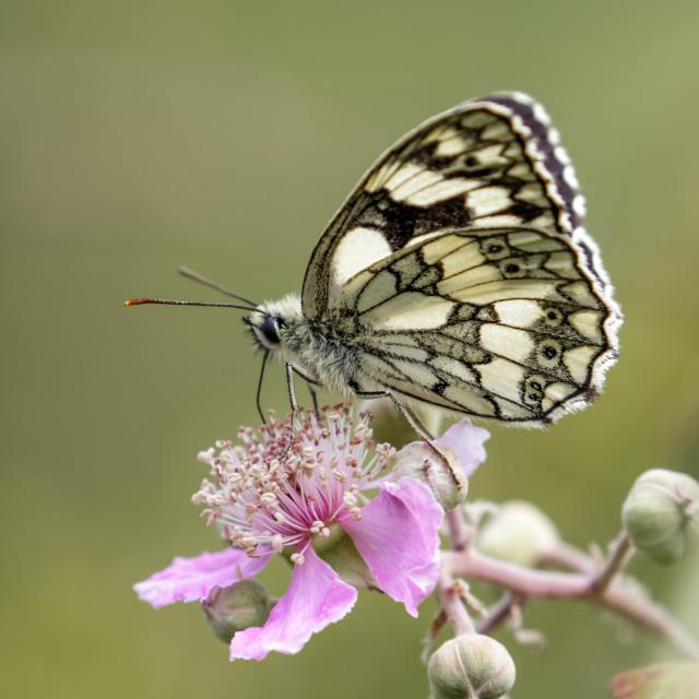 """Marbled White butterfly (Melanargia galathea) on pink flower. Pr"" stock image"