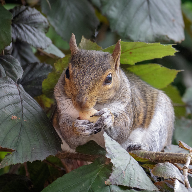 """Female Grey Squirrel (Sciurus carolinensis) feeding on Hazelnuts"" stock image"