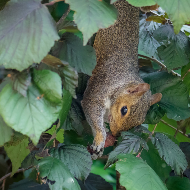 """Female Grey Squirrel (Sciurus carolinensis) hanging upside-down."" stock image"
