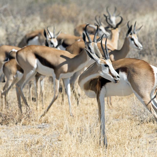 """Springbok Antelopes"" stock image"