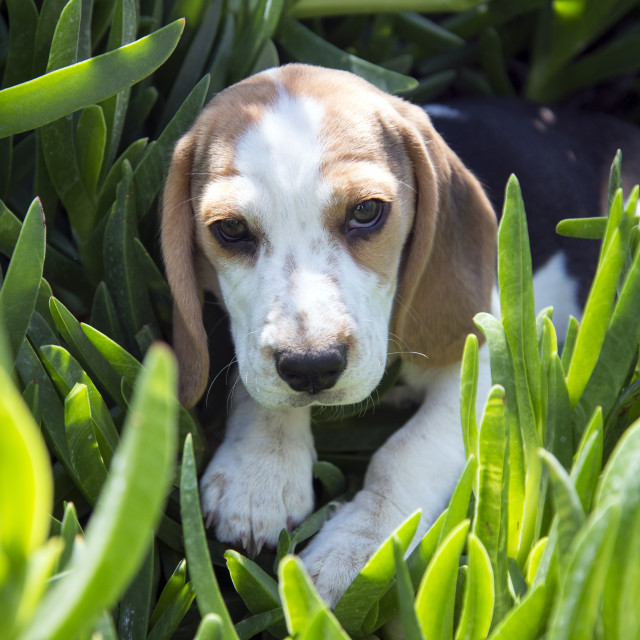 """Beagle Puppy"" stock image"