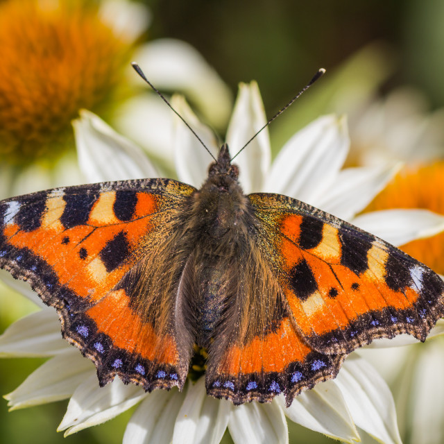 """""""Butterfly resting on daisy flower"""" stock image"""