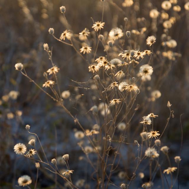 """Kalahari winter flower"" stock image"