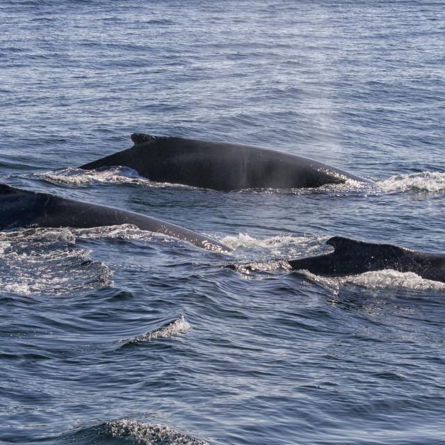 """Humpback whales in ocean"" stock image"