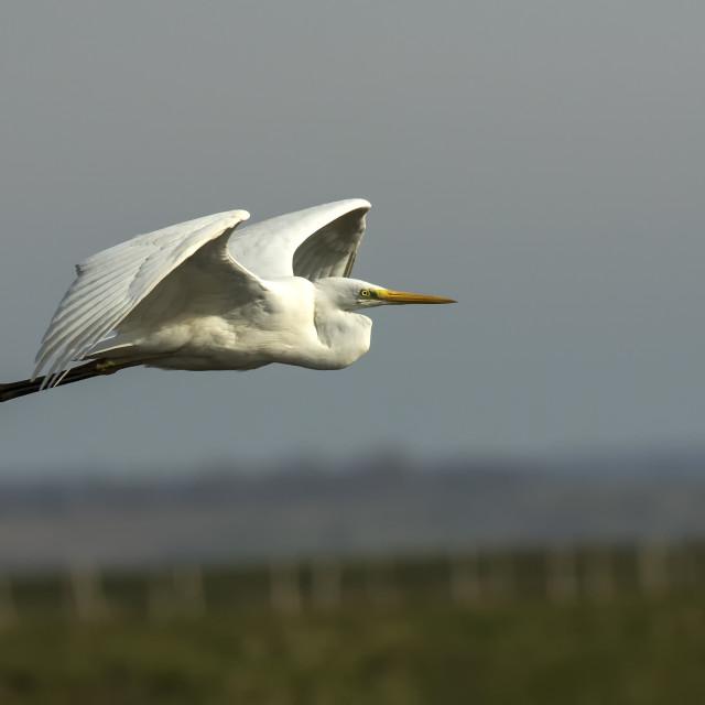 """Great White Egret in Flight"" stock image"