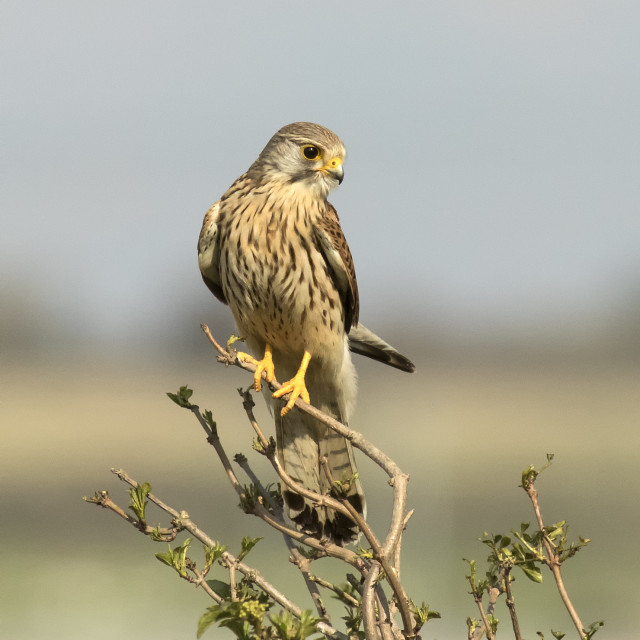 """Female Kestrel"" stock image"