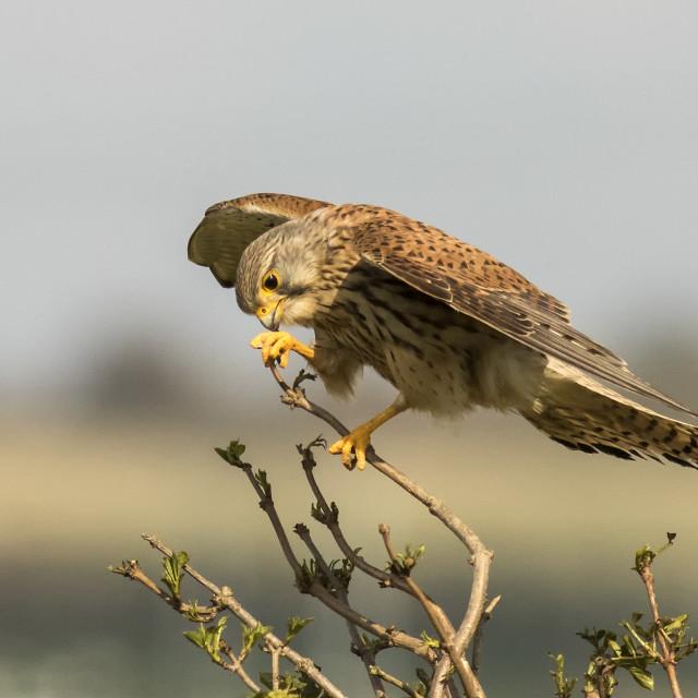 """Female Kestrel Feeding"" stock image"