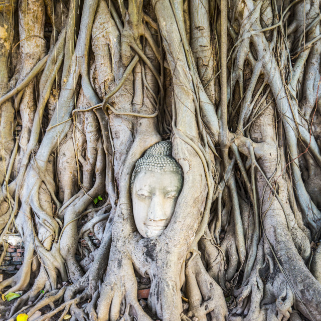 """Buddha Head in Tree Roots"" stock image"