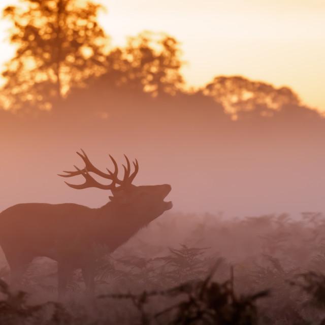 """""""Moody silhouette of Red Deer stag (Cervus elaphus) bugling or roaring"""" stock image"""