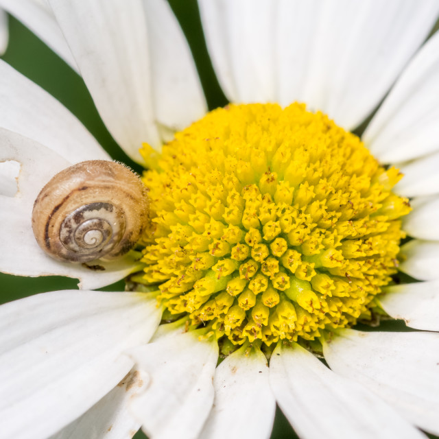 """Snail on a partially eaten and damaged white daisy flower"" stock image"