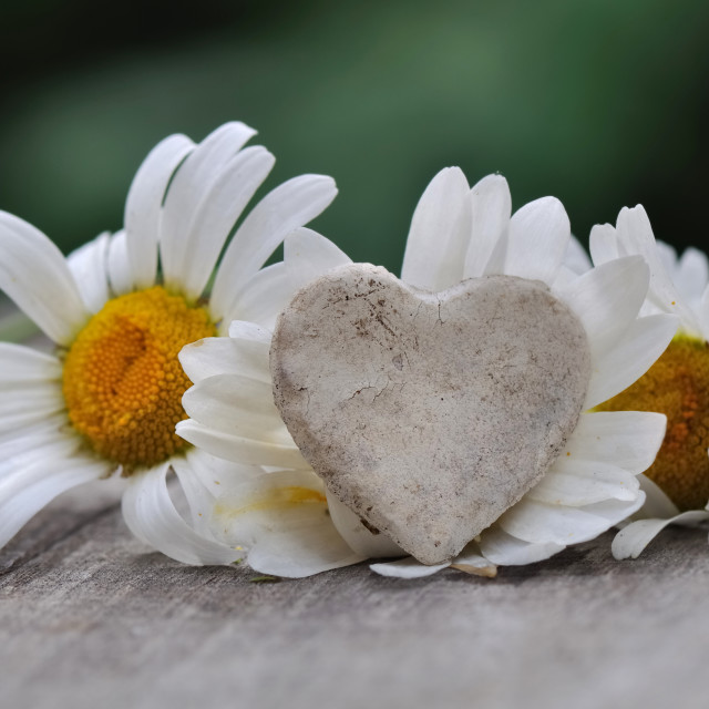 """""""heart in daisies"""" stock image"""
