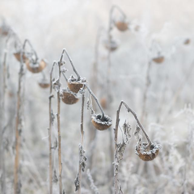 """Frozen winter sunflowers"" stock image"
