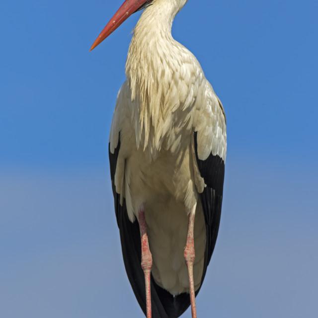 """""""White Stork"""" stock image"""