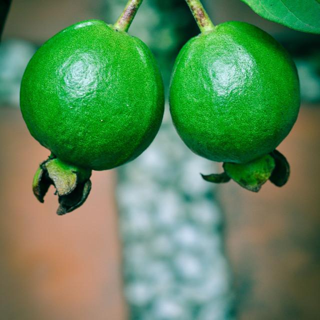 """Green Guava"" stock image"