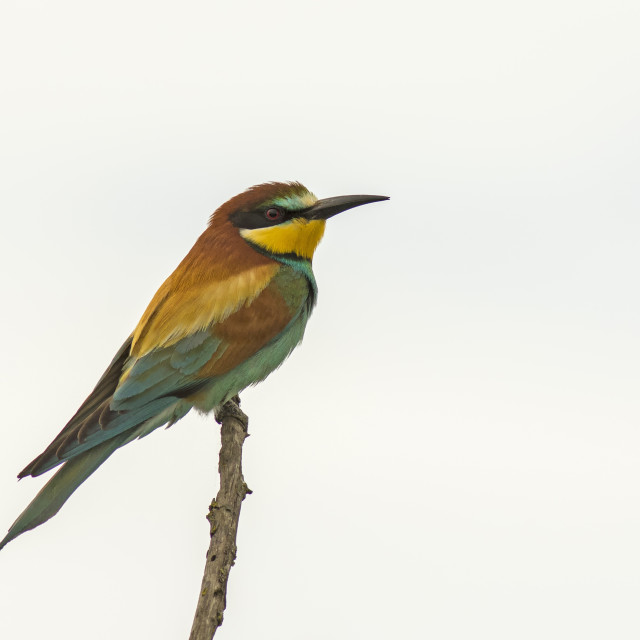 """Bee Eater"" stock image"