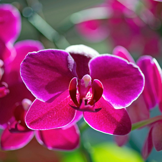 """Orchids"" stock image"