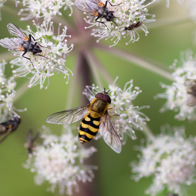 """Hoverfly and flies"" stock image"