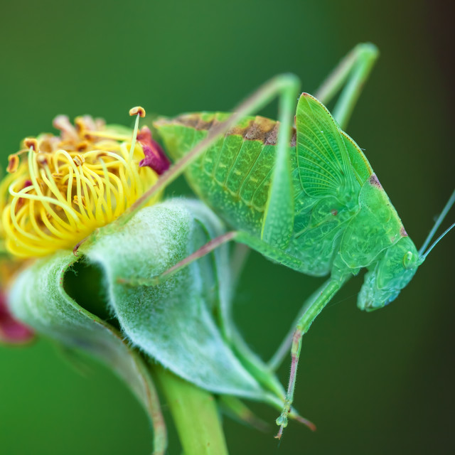 """Young Bush-Cricket 4"" stock image"