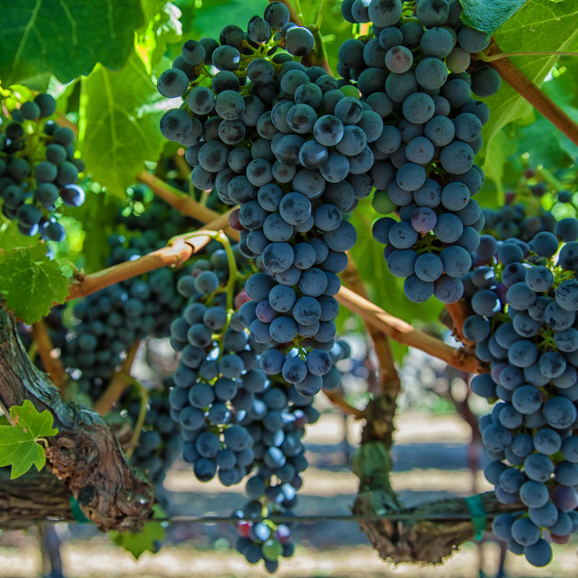 """Grapes 2"" stock image"