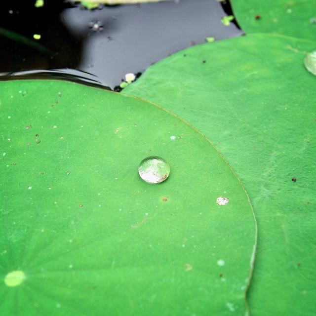 """Drops on lotus"" stock image"