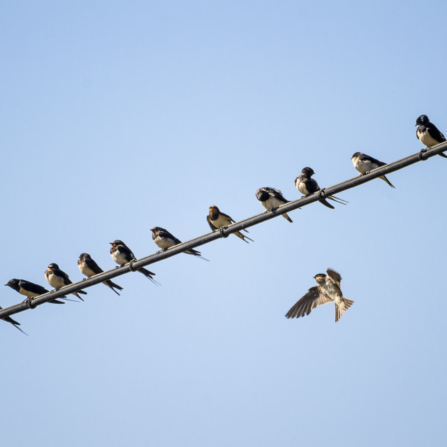 """Group of swallows on wire"" stock image"