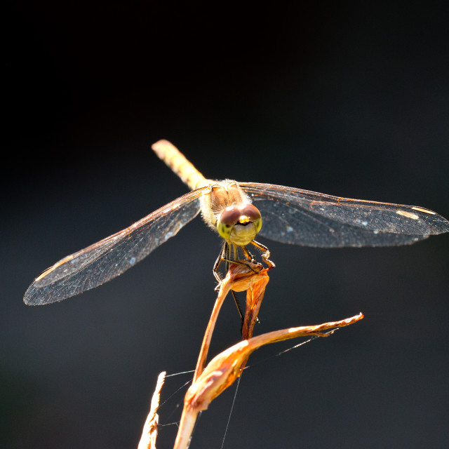"""Common Darter"" stock image"