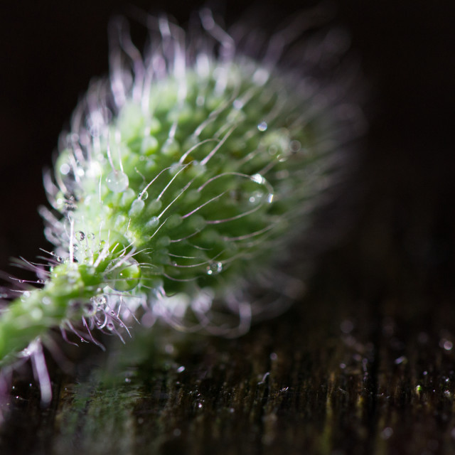 """Poppy Bud"" stock image"