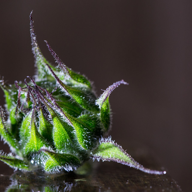 """Sunflower Bud"" stock image"