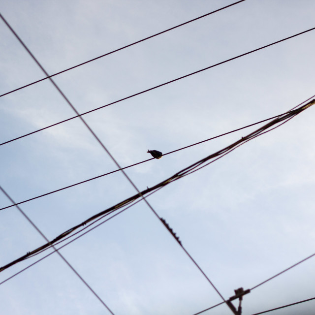 """crow atop power line maze"" stock image"
