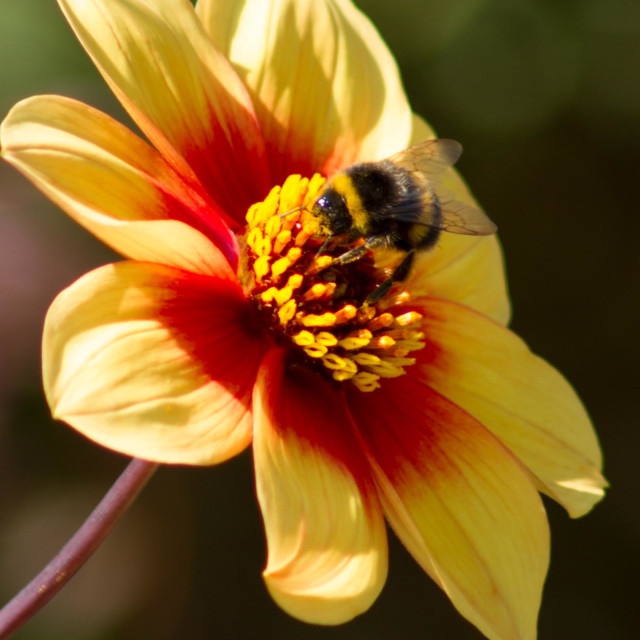 """Bumble Bee on yellow flower"" stock image"