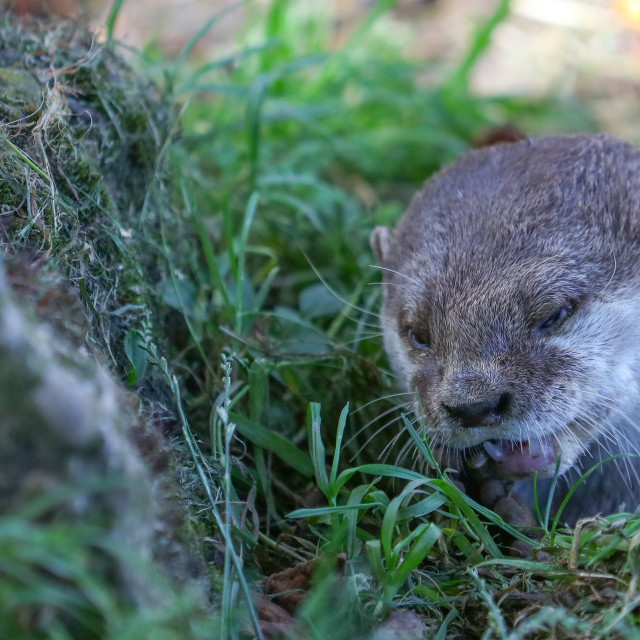 """""""The Otter"""" stock image"""