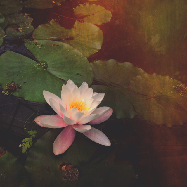 """Lily pad flower"" stock image"