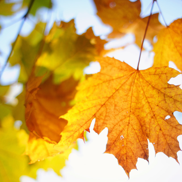 """""""Branch of the Maple leaves in autumn time"""" stock image"""