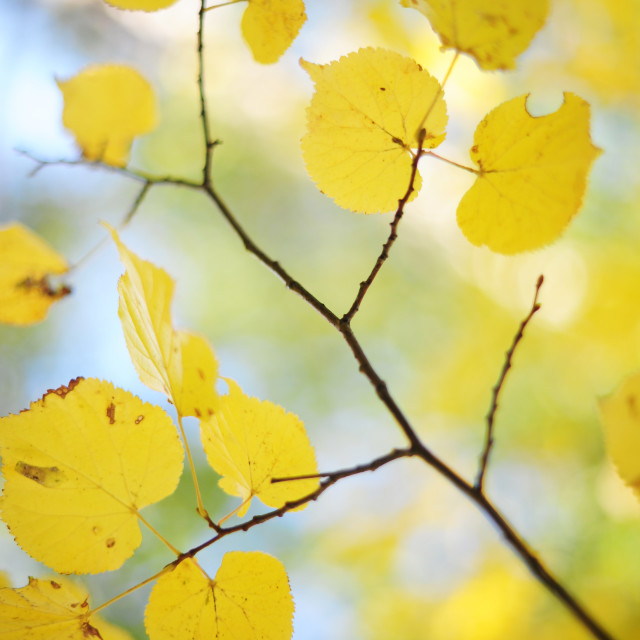 """""""Branch of Linden tree yelllow leaves. Vertical"""" stock image"""