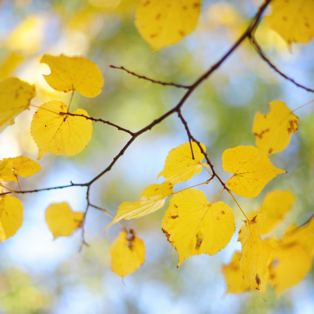 """""""Branch of Linden tree yelllow leaves"""" stock image"""