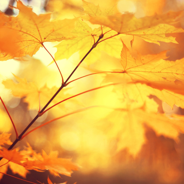 """""""Autumn branch of Maple tree leaves. Toned image"""" stock image"""