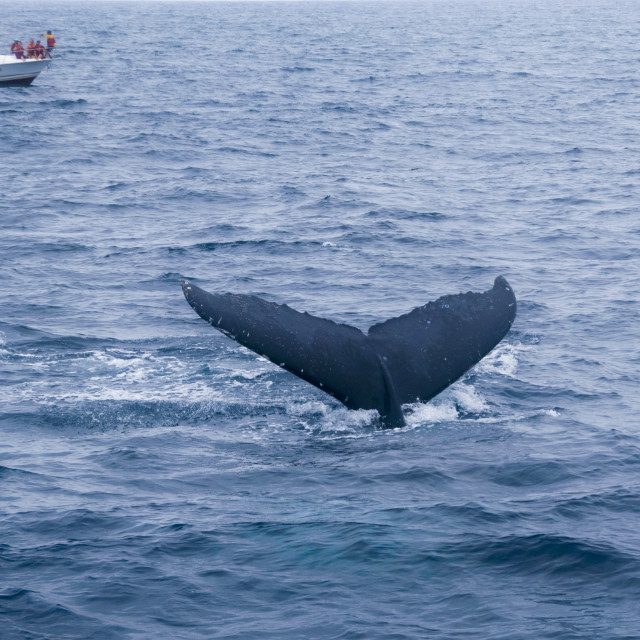"""""""Whale watching in the coasts of Ecuador"""" stock image"""