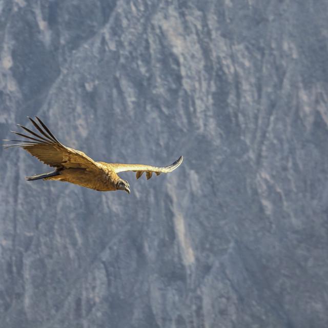 """Condor"" stock image"
