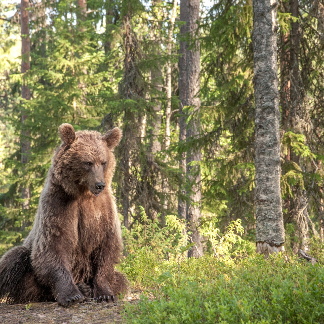"""Bear in deep thought"" stock image"