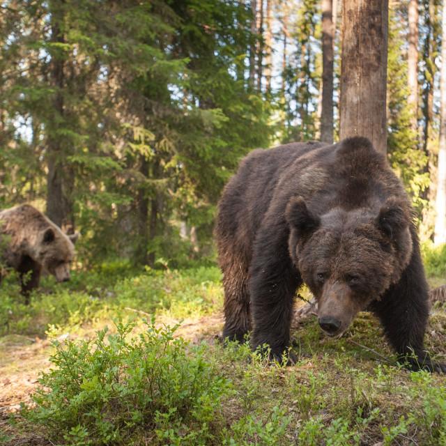 """""""Curious bear"""" stock image"""